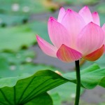 vietnam lotus - travel to vietnam